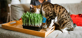Grass for Cat.